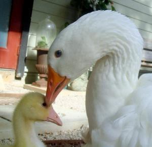 Sebastopol_goose_and_gosling