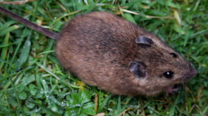 800px-St_Kilda_field_mouse_(Apodemus_sylvaticus_hirtensis)