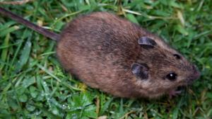 800px-St_Kilda_field_mouse_(Apodemus_sylvaticus_hirtensis)