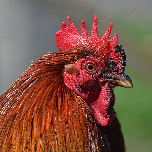 Bantam_rooster